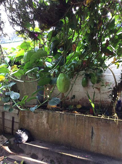 Le Badea, un énorme fruit de la passion, Macas
