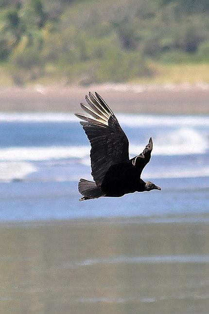 Le vautour qui rode