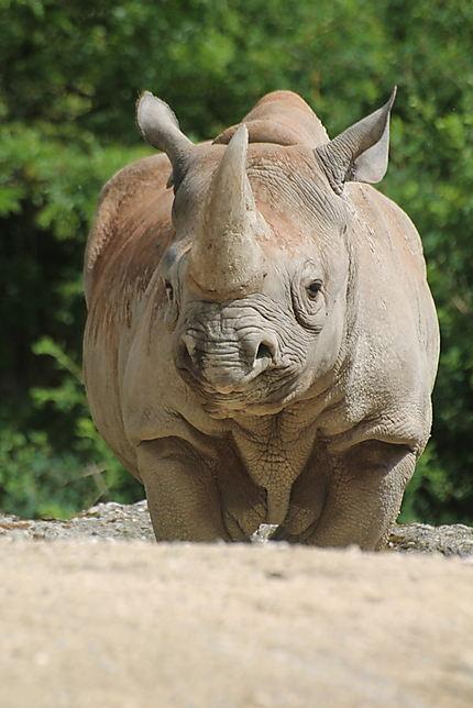 Le rhinocéros (zoo de Zurich)