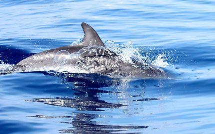 Nager avec les dauphins sauvages aux Açores