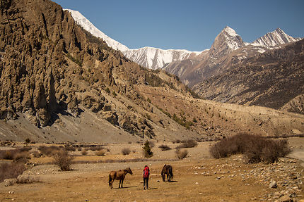 Wild horses in front of Tilicho Peak