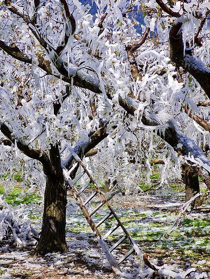 Abricotiers sous le gel