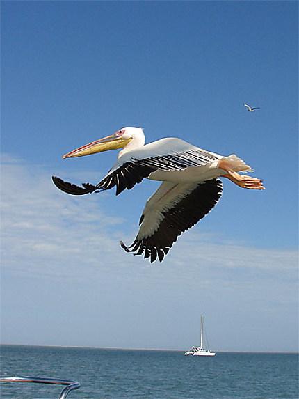 Pélican en vol