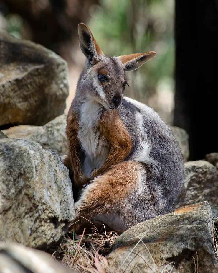 Rock Wallaby, Australie