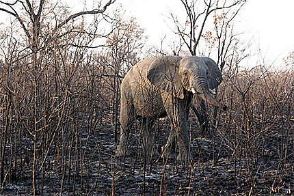 Eléphant du Kruger