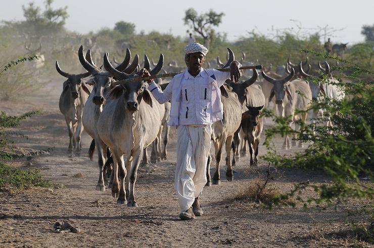 Le troupeau, Gujarat, Inde
