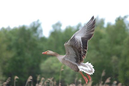 Envol dans le parc ornithologique du Marquenterre