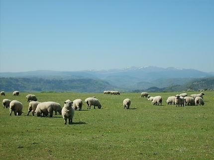Dessine-moi des moutons...