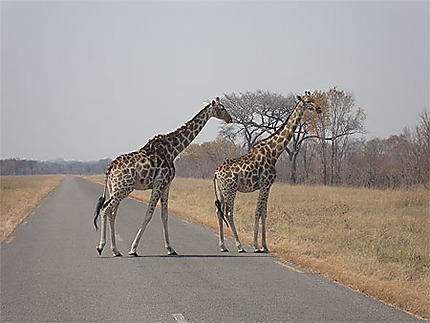 Girafes sur la route