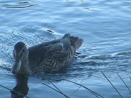 Le Canard au lac