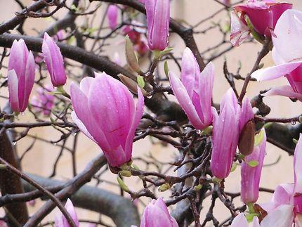 Magnolias roses