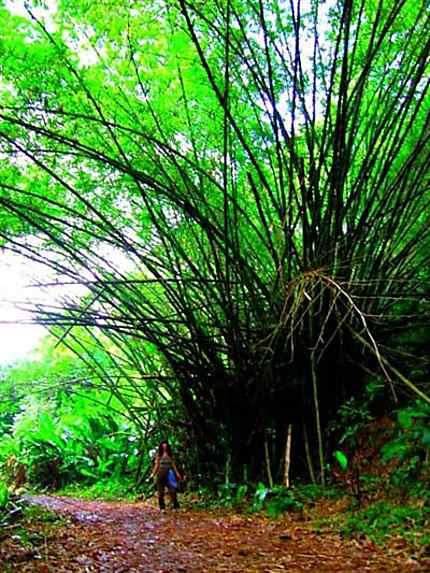 Bambou géant