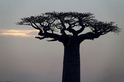 Baobab à Morondava, Madagascar