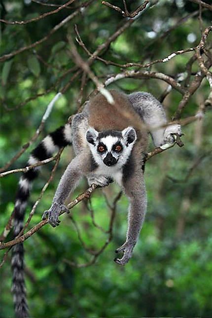 "Maki "" Lemur catta """