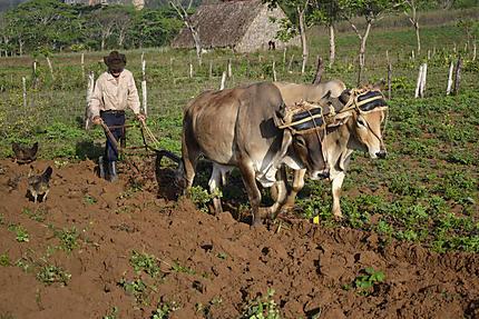 Labour d'un champ à Vinales