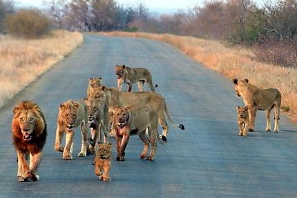 Lion, lionnes et 3 lionceaux