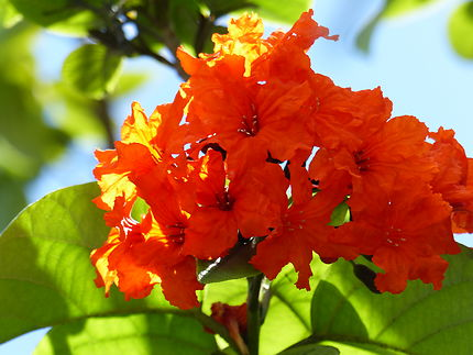 Fleur à colibri