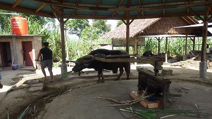 Extraction jus de canne à sucre en Indonésie