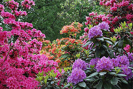 Rhododendrons du Popellsdorfer Schloss