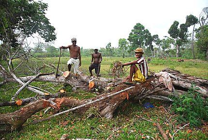 Coupe du bois arbre tombé suite cyclone Yvan