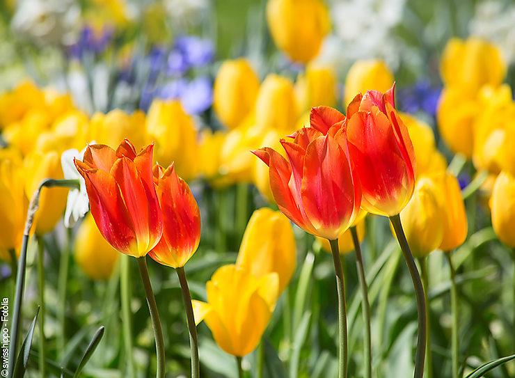 Au pays des tulipes, en Hollande