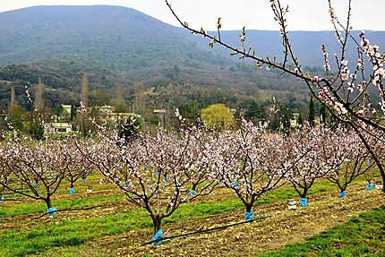 Les abricotiers de Mirmande