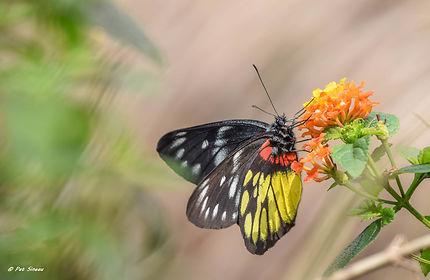 Papillon du Vietnam