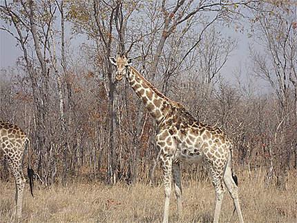 Girafes du Hwange