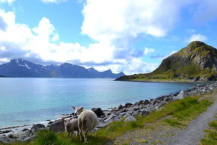 Deux moutons à Haukland