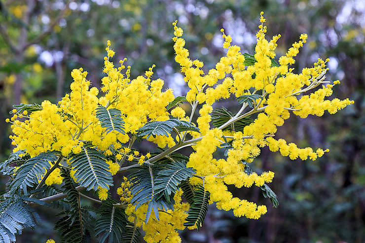 Mimosalia à Bormes-les-Mimosas