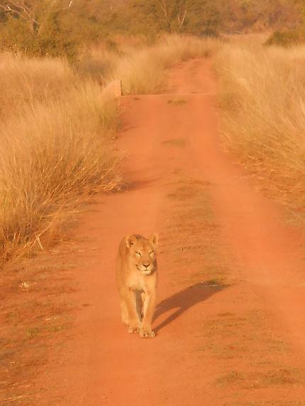 Le lion, enfin la lionne