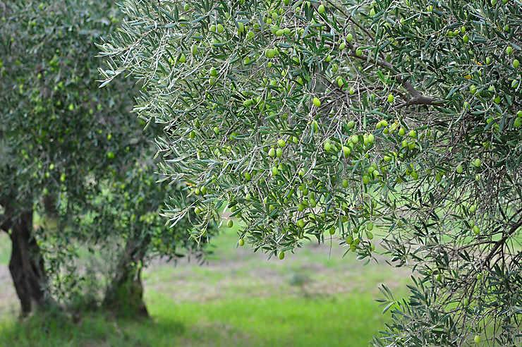 Vert Vaucluse : sur le chemin des oliviers