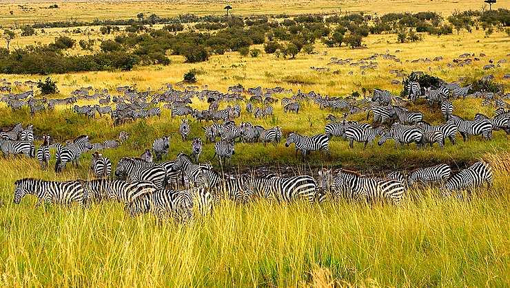 Défilé de rayures dans la Réserve nationale de Massaï-Mara, Kenya