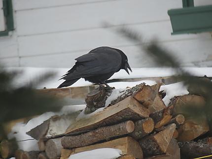 La Corneille et le bois à Métis-sur-Mer