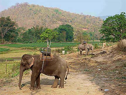 Eléphants travailleurs