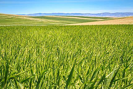 Algérie - Hauts plateaux - Champs à perte de vue