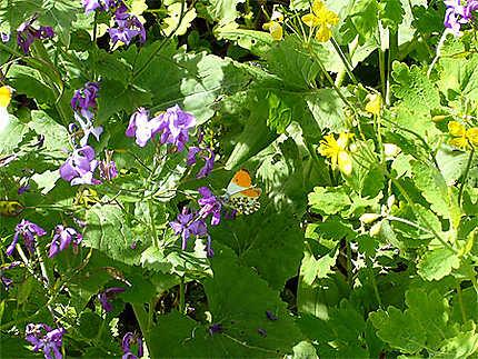 Papillons sur des fleurs le long du Célé