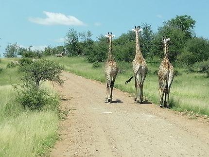 Pendant ce temps là dans le Kruger...