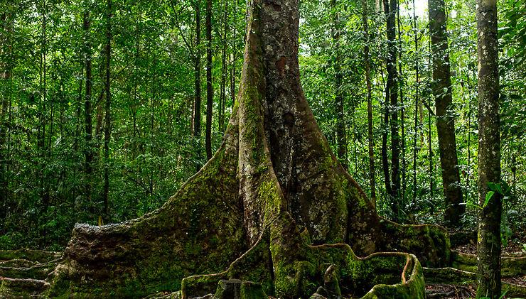 Arbre sur le sentier de la montagne des Singes, Guyane