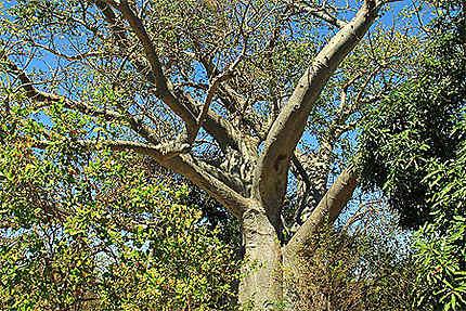 Bozy be - le baobab à mille branches