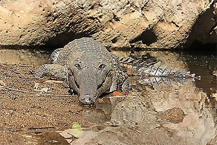 Fresh Water Croc