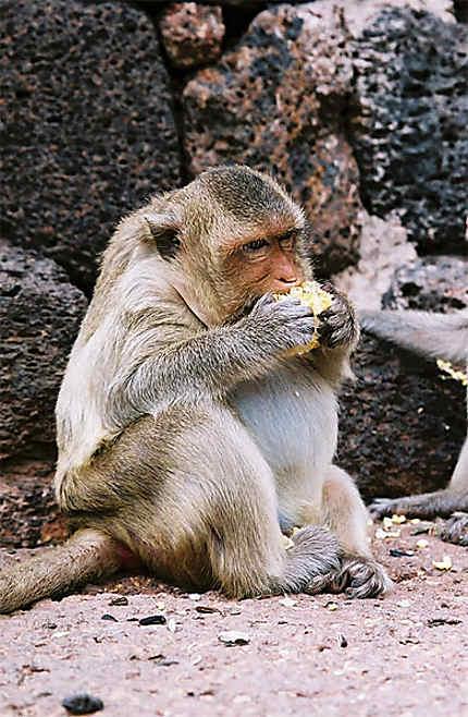Gros macaque