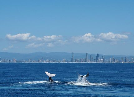 Whale watching in Goldcoast