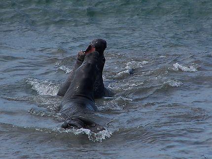 Éléphants de mer à Big Sur