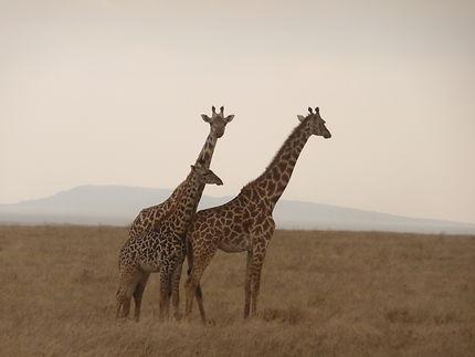 Famille de girafes au Serengeti