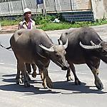 Buffles dans Da Teh
