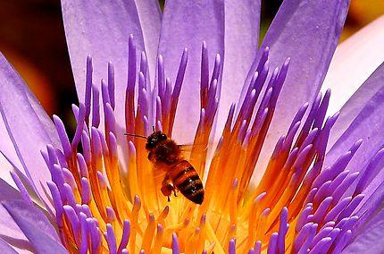 Abeille butinant une fleur de lotus