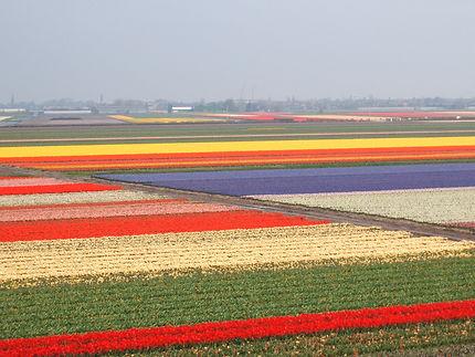 Champs de tulipes à Keukenhof