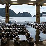 Marché aux thons de Kii Katsuura