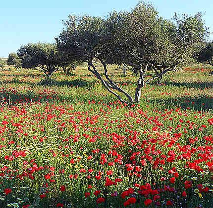 Olives au pavot